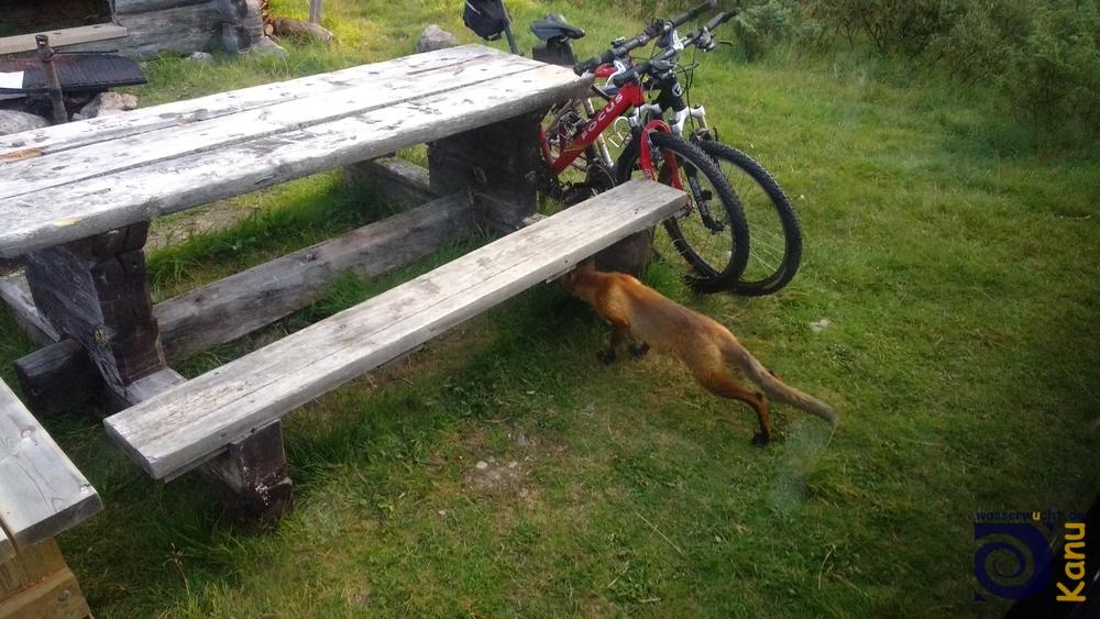 Morgens um 5 in Schweden. Ein neugieriger Fuchs.