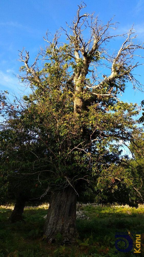 Alter Kastanienbaum